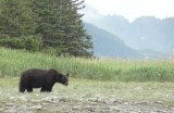 Black bear wildlife viewing in Alaska (video)
