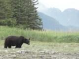 Black bear wildlife viewing in Alaska(video)