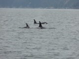 Orca viewing in Alaska anyone (video)?