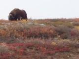 Moose hunting in NorthernAlaska