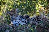 Jaguar hunting inBrazil