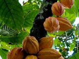 Ecuador: How to make chocolate from seed to bar byhand