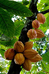 cacao fruit