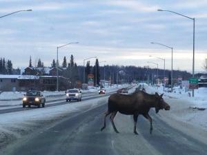 moose in road