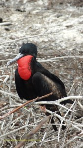 Great frigate birds have green iridescnce and greater frigate birds have purple iridescence