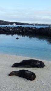 Are there seals in the Galapagos Islands?  No, seal are not able to lift themselves up on the rocky coast.