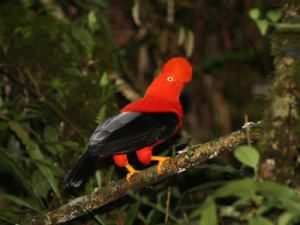 view cock of the rock, cotingas in Ecuador