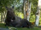 Only in Alaska! Moose chills in thesprinkler