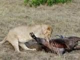 Lion on a kill (Part2)