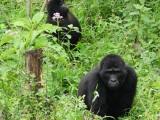 The Nkuringo Mountain Gorillababies
