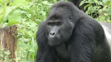 Hanging out with gorillas, no kidding (video)
