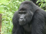 Hanging out with gorillas, no kidding(video)