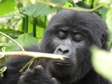 A teenaged mountain gorilla from the Nkuringo troop, Uganda