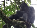 WILD chimpanzee mama and baby at Kayanchu, Uganda (video) for Mother's Day