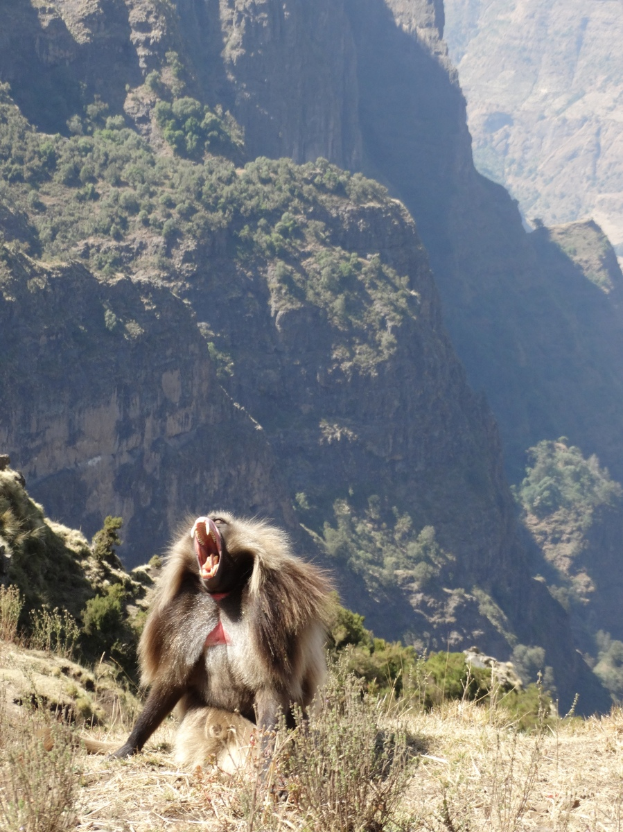 Visiting with the incredibly friendly baboons in the Simien Mountains, Ethiopia