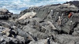 Have you seen Iguanas swim?  Check out the marine iguanas of the Galapagos Islands (video)
